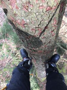 Baumklettern mit Steigeisen